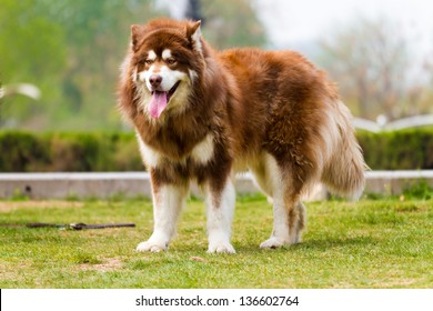 Alaska dog, on the grass in the park