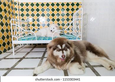 Alaska malamute and Samoyed dog sitting and relax in pet hotel
