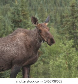 Alaska Moose (female) (alces alces gigas)