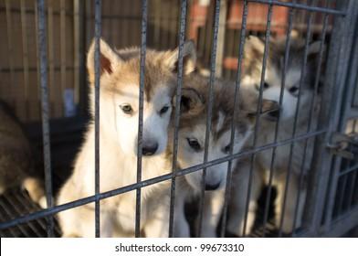 Alaska Puppies