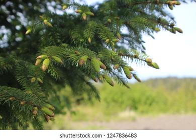 Alaska Sitka Pine Tree