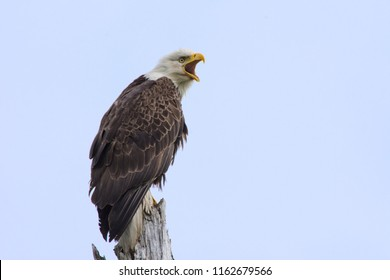 Alaskan bald eagle calling to his mate