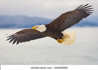 Alaskan Bald Eagle soaring over ocean