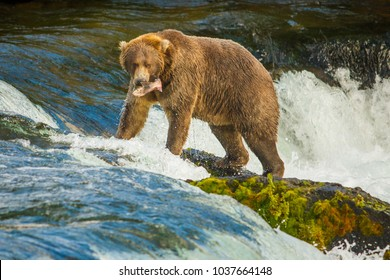 Alaskan bear with catched fish on Brooks falls, Katmai National Park, Alaska