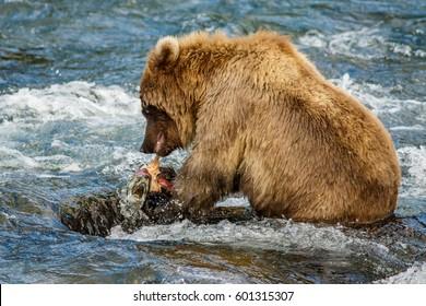 Alaskan brown baby-bear eating salmon, Brooks camp, US