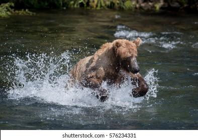 An Alaskan brown bear chasing sockeye salmon in the Brooks River in Katmai National Park, Alaska
