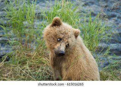 Alaskan brown bear cub along the shore of Brooks River in Katmai National Park, Alaska