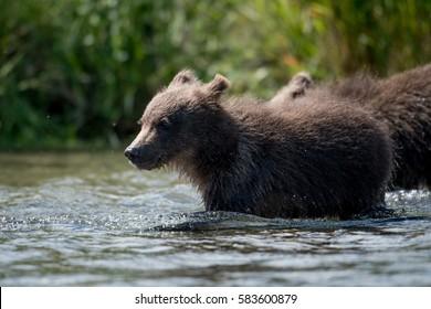 An Alaskan brown bear cub wading through the water of Brooks River in Katmai National Park, Alaska