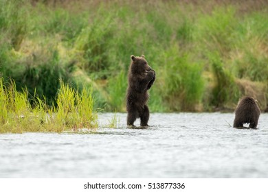 Alaskan brown bear cubs in Brooks River in Katmai National Park, Alaska
