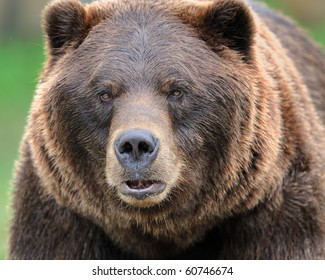 Alaskan brown bear (grizzly)