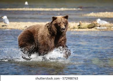 Alaskan brown bear (grizzly bear) fishing for Sockeye salmon, Moraine Creek, Katmai National Park, Alaska