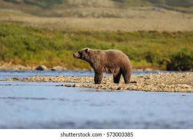 Alaskan brown bear (grizzly bear) standing at the riverbank, Moraine Creek, Katmai National Park, Alaska