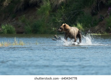 Alaskan brown bear running through Brooks River in Katmai National Park, Alaska