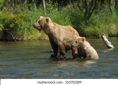 Alaskan brown bear sow with a cub in the Brooks River in Katmai National Park, Alaska