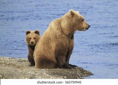 Alaskan Brown Bear - (Ursus arctos)