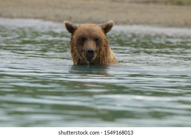 ALASKAN BROWN GRIZZLY BEAR IN THE WATER