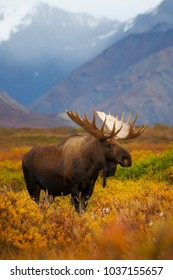 An Alaskan bull moose stands in the open tundra of Denali National Park & Preserve, Alaska.
