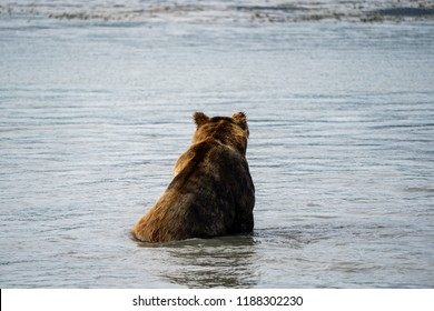 Alaskan coastal brown grizzly bear sits in water with back facing the camera as he fishes for salmon in Katmai National Park