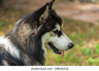 The Alaskan Dog Portrait