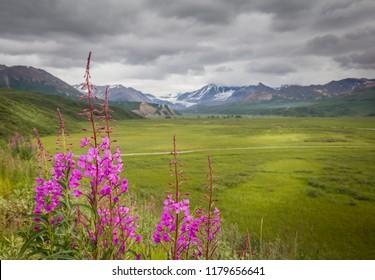 Alaskan Fall Fireweed