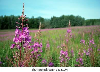 Alaskan fireweed wildflowers