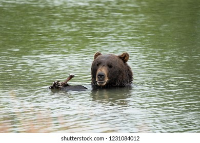 Alaskan grizzly bear sits in the water, eating a stick with his two paws and claws, giving a goofy silly sad look with his lips