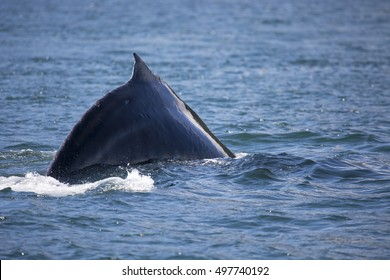 Alaskan humpback whale with fin out of the water close up.