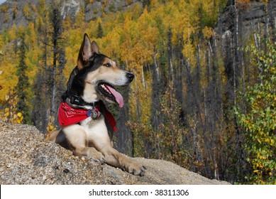 Alaskan Husky Resting on Mountaintop