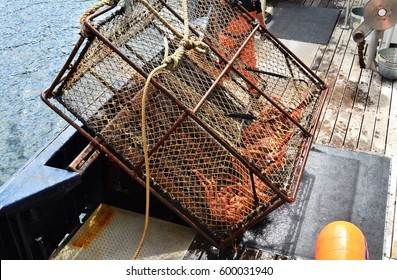 Alaskan king crab caught in 600 lb. pot off the coast of Alaska.