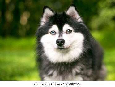 An Alaskan Klee Kai dog with heterochromia, one blue eye and one brown eye