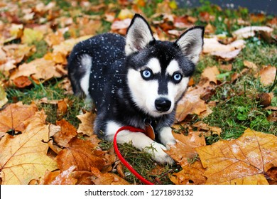 Alaskan Klee Kai in Snow