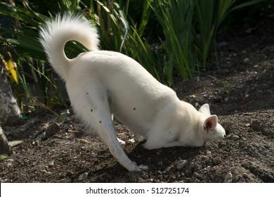 Alaskan Klee Kai white digs in the garden