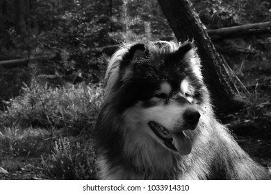Alaskan Malamut in the woods, black and white.