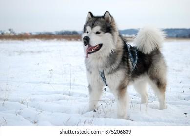 Alaskan malamute 3