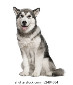 Alaskan Malamute, 4 months old, sitting in front of white background