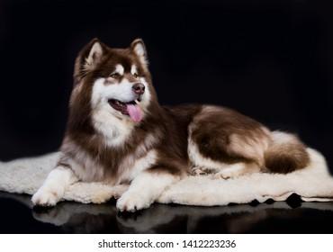 alaskan malamute closeup portray in black background