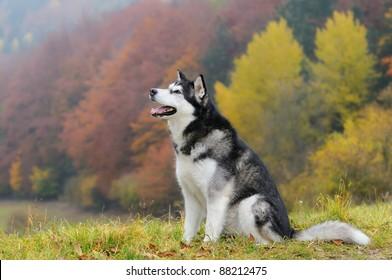 Alaskan Malamute Dog in autumn