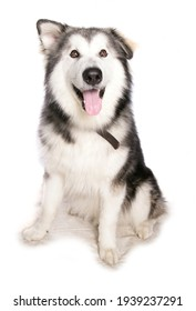 Alaskan Malamute dog isolated on a white background