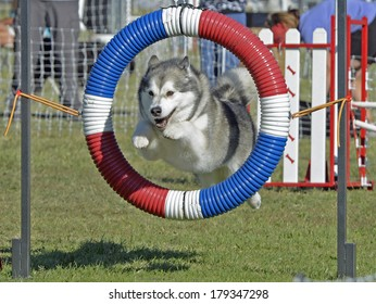 Alaskan Malamute Dog Jumping Through Agility Hoop