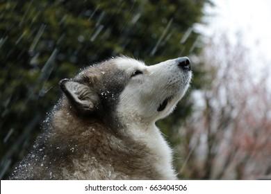 Alaskan Malamute Dog Looking Up in Sleet and Rain
