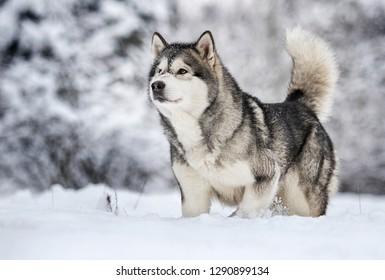 Alaskan Malamute dog on a winter