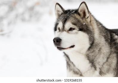 Alaskan Malamute dog on a winter walk in the snow