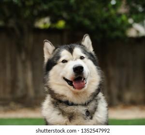 Alaskan Malamute dog outdoor portrait headshot