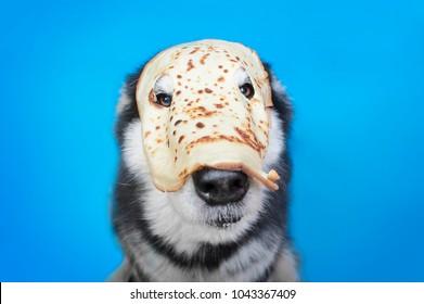 Alaskan malamute dog in the pancake mask