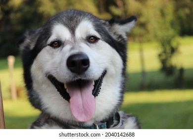 Alaskan malamute dog puppy in back yard