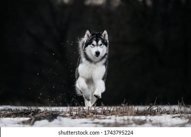 alaskan malamute dog running outdoors in winter