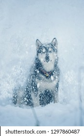 alaskan malamute dog sits and enjoys the snowfall. Front view