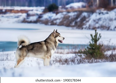 Alaskan Malamute dog standing in the snow in winter
