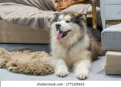 Alaskan Malamute Dog with tongue sticking out. Alaskan Malamute lies indoors. Fluffy dog in the house. Pet. Concept - rare breeds of dogs. Concept - Selling Pet Food. Malamute stuck out his tongue