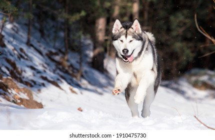 Alaskan Malamute dog in winter forest